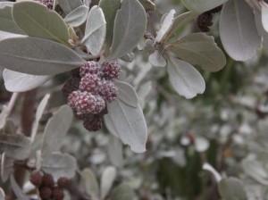 grayberries